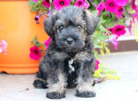 hanna schnauzer mini puppy  sale keystone puppies