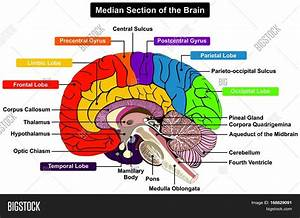 Diagram Of Brain Parts And Functions  With Images