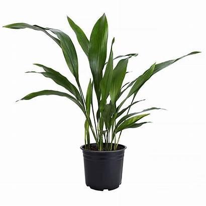 Plant Iron Cast Plants Friendly Pot Pet