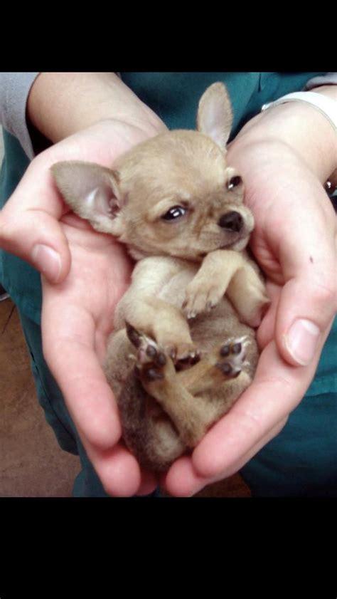 cute baby chihuahua chihuahua love pinterest
