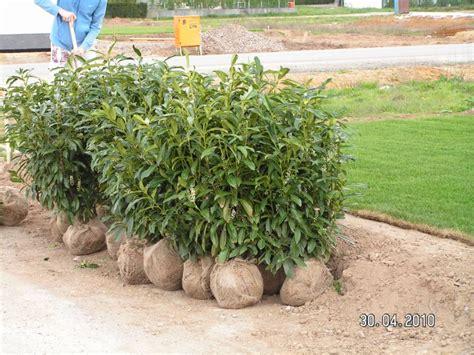 kirschlorbeer hecke pflanzen die kirschlorbeer hecke entsteht baublog alexey