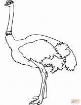 Coloring Ostrich Printable Drawing Paper Crafts sketch template