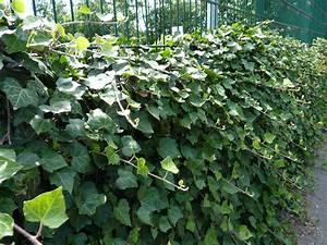 Efeu Pflanzen Kaufen : bodendeckerpflanzen online kaufen efeu 39 hedera helix ~ Michelbontemps.com Haus und Dekorationen