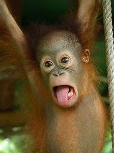 baby orangutans enjoy the early years with baby