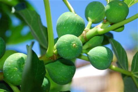 hortensien erfroren was tun feigenbaum erfroren was tun