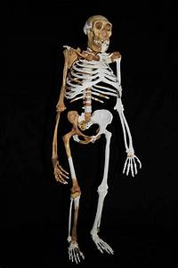 Is Australopithecus sediba the Most Important Human ...