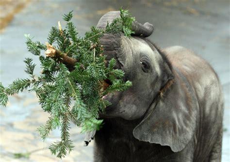 elephant cuisine photo in the baby elephant eats trees