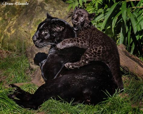 Hidden Spots Black Panther With Cub Nature Amazing
