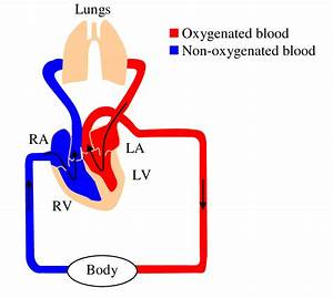 Circulatory System Diagram Showing The Four Chambers Of The Heart