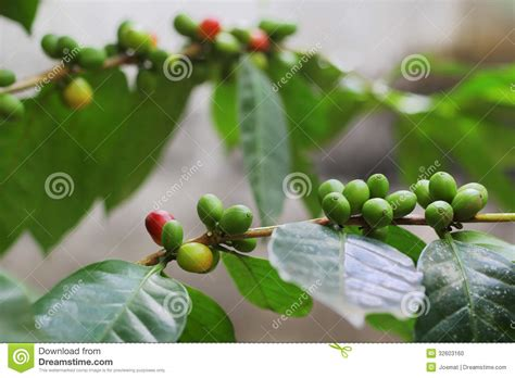 Coffee grown in the hills of chikmagalur is roasted using traditional italian techniques to produce exquisite gourmet coffees assured to elevate the senses. Organic Coffee Beans From Kerala, India Stock Photo ...