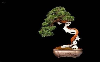Bonsai Tree Wallpapers Japanese Maple 4k Nature