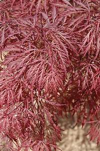 lace leaf maple Ever Red Lace-Leaf Japanese Maple (Acer palmatum 'Ever Red ...
