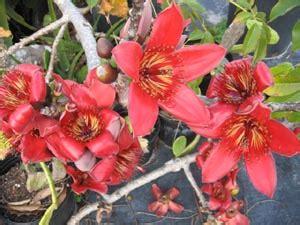 bombax ceiba malabaricum red kapok tree