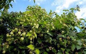Hopfen Im Kübel Pflanzen : bierhopfen 39 nugget 39 pflanze humulus lupulus 39 nugget 39 hopfen haarstrang hundszunge ~ Markanthonyermac.com Haus und Dekorationen