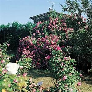 Comment Tailler Les Rosiers : quand et comment tailler les rosiers grimpants roses ~ Nature-et-papiers.com Idées de Décoration