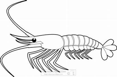 Shrimp Clipart Outline Animals Animal Marine Transparent