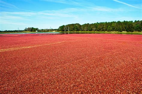 Visiting Cranberry Bogs In Massachusetts