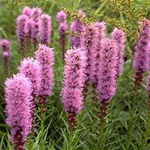 Liatris Spicata Kobold : 6 flowering perennials for hot dry locations petiolejunction ~ Watch28wear.com Haus und Dekorationen