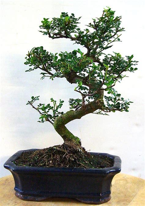 Pflege Bonsai by Richtige Pflege Des Zanthoxylum Piperitum Pfefferbaum