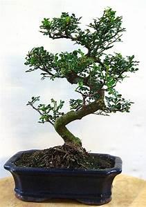 Pflege Bonsai Baum Indoor : richtige pflege des zanthoxylum piperitum pfefferbaum ~ Michelbontemps.com Haus und Dekorationen