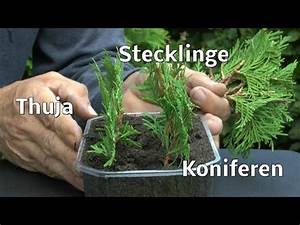 Bonsai Stecklinge Machen : buxus buchsbaum stecklinge anleitung vom g rtner doovi ~ Indierocktalk.com Haus und Dekorationen