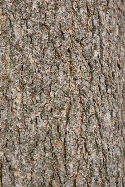tree bark texture two great elm tree bark textures www myfreetextures com 1500 free textures stock photos