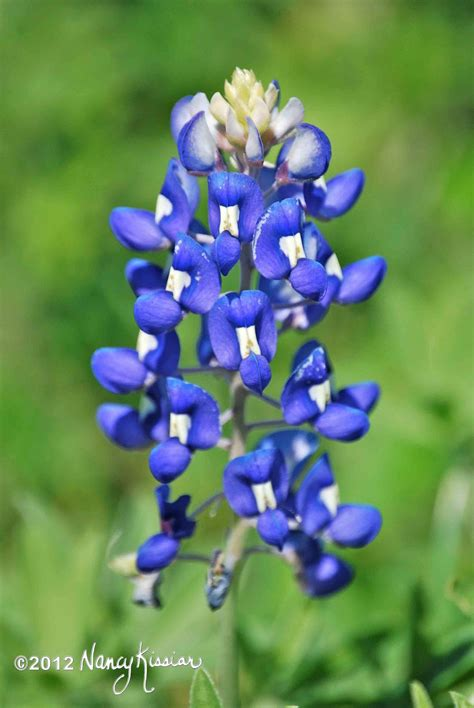 what is a bluebonnet wild about texas the bluebonnet is the star of the texas spring