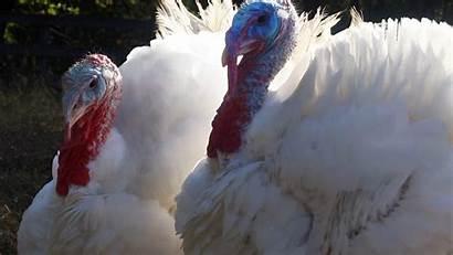 Thanksgiving Turkey Fresh Where Millions Seront Vendues