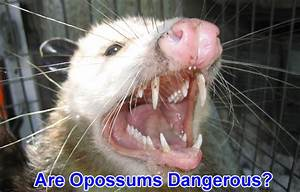 Are Possums Dangerous to People or Dogs?