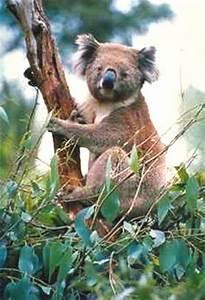 koala nahrung