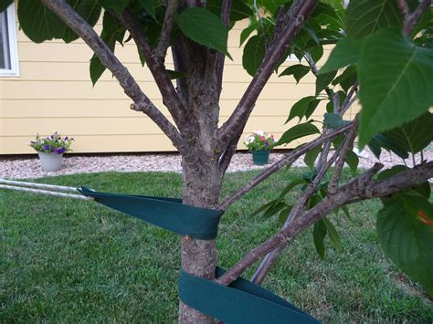 how to prune ornamental cherry trees pruning a young japanese flowering cherry kwanzan tree ask an expert
