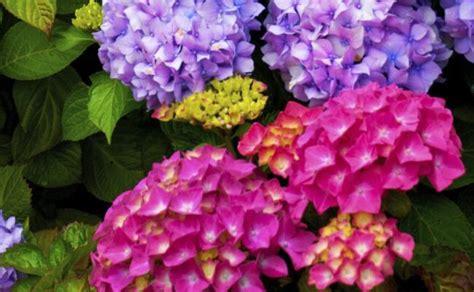significato fiore ortensia significato dell ortensia nel linguaggio dei fiori