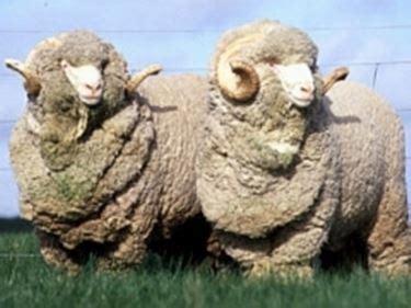 Animali Da Cortile Definizione by Pecore Merinos Pecore E Capre