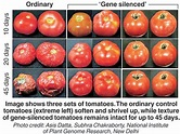 About - GENETICALLY MODIFIED TOMATOES