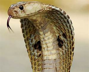 Can a chopped-off snake head still bite you? - Reeko's Mad ...