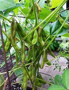 Related Keywords & Suggestions for edamame plant