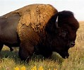 Image result for a bison