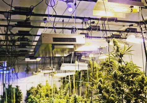 Safely Growing Marijuana Outdoors In Your Back Yard