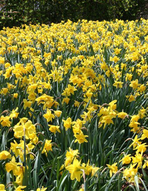 wholesale daffodils 600 yellow daffodil bulbs