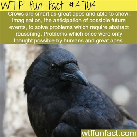how smart are crows wtf fun facts animals pinterest