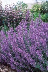 cat mint catmint nepeta x faassenii walker s low from saunders