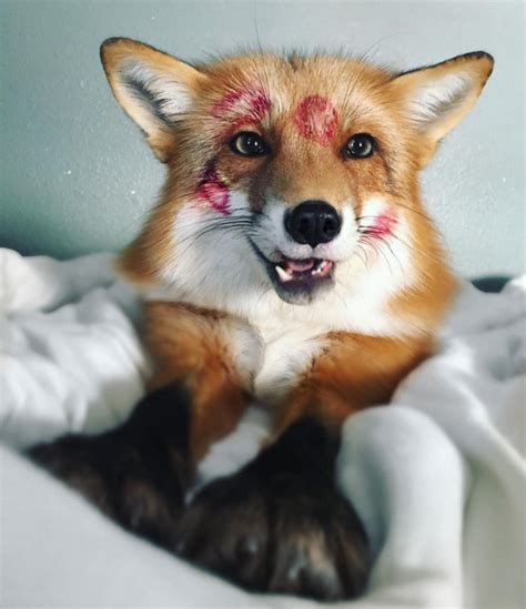 fox pet juniper the fox is your new instagram obsession