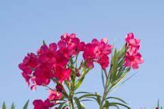 Oleander Braune Blätter : calamondin verliert bl tter woran kann 39 s liegen ~ Lizthompson.info Haus und Dekorationen
