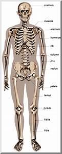 Kids U0026 39  Science Blog Post On Skeletal System