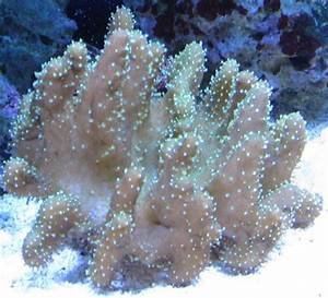 Our Devils Hand Leather Coral | Our Nano Reef | Pinterest