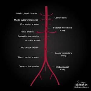 The 25  Best Abdominal Aorta Ideas On Pinterest