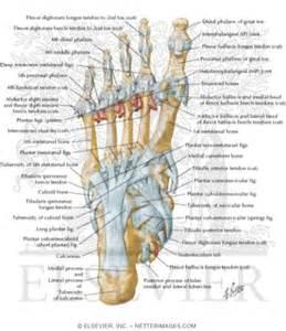 Plantar Foot Tendons