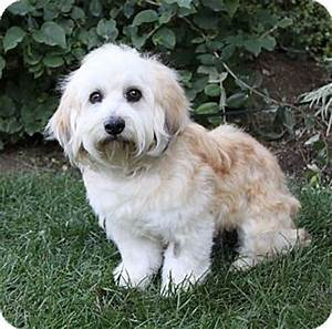 ASHTON | Adopted Dog | Newport Beach, CA | Havanese ...