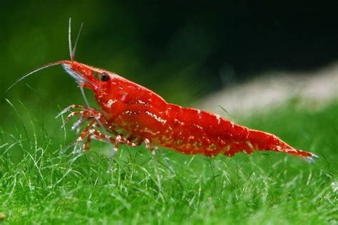 better water filter pets for beginners cherry shrimp thesocialpet