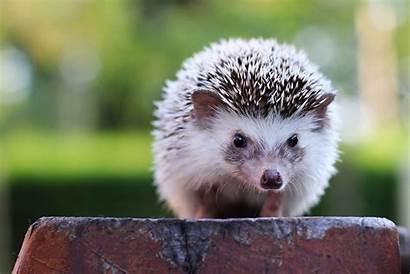 Hedgehog Pets Hedgehogs Pet Cool Animals Looking